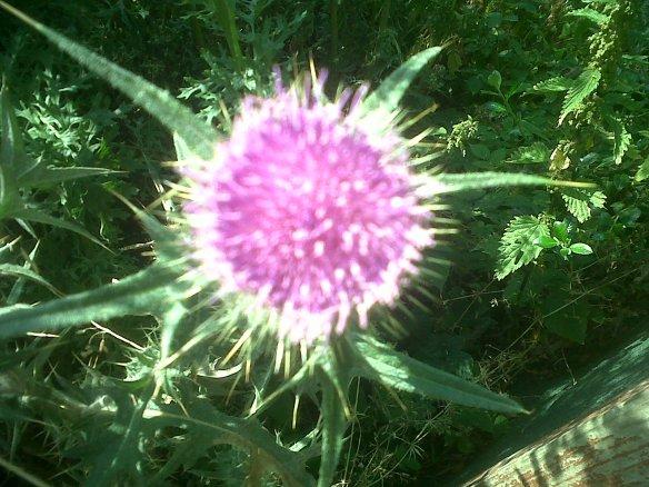 flower thorn weed f4mmedia